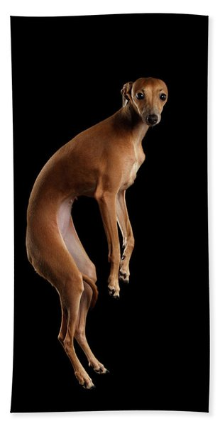 Italian Greyhound Dog Jumping, Hangs In Air, Looking Camera Isolated Hand Towel