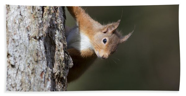 Peekaboo - Red Squirrel #29 Hand Towel