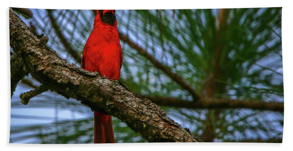 Bath Towel featuring the photograph Perched Cardinal by Tom Claud