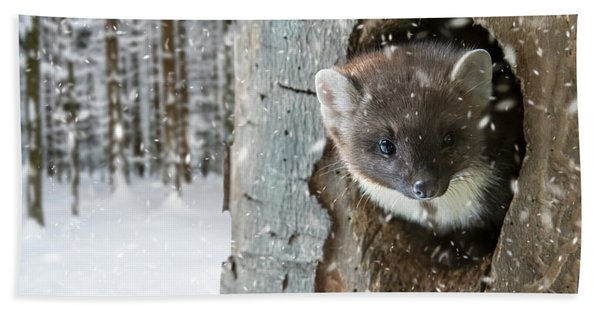 Pine Marten In Tree In Winter Hand Towel