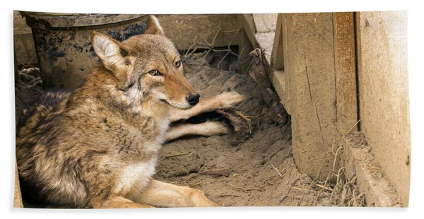 Resting Coyote Hand Towel