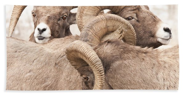 Three Bighorn Rams Bath Towel