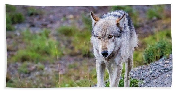 Grey Wolf In Denali National Park, Alaska Bath Towel