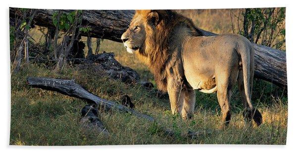 Male Lion In Botswana Hand Towel