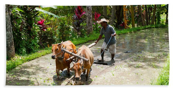 Farmer With Oxen Working In Paddy Beach Towel