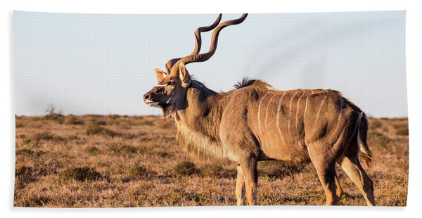 A Large Male Kudu Stares Beach Towel