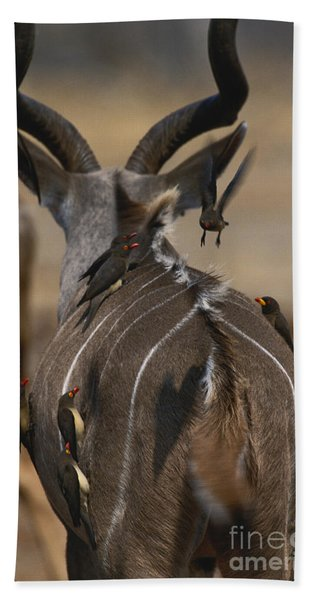 Kudu With Oxpeckers Beach Towel