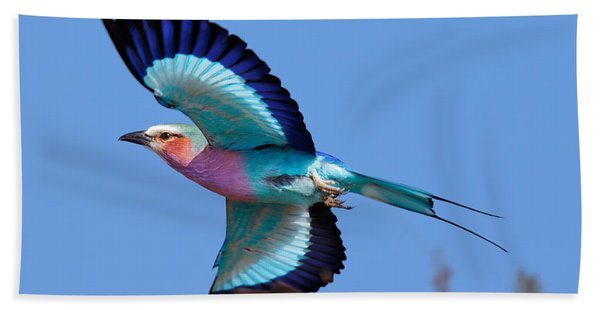 Lilac-breasted Roller In Flight Beach Towel