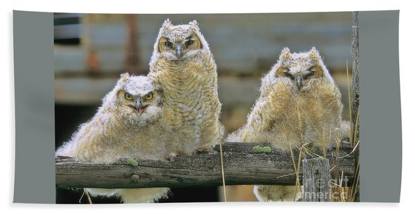 Three Great-horned Owl Chicks Beach Towel