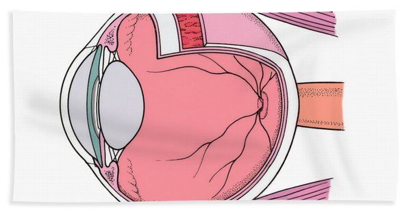 Illustration Of Eye Anatomy Beach Towel