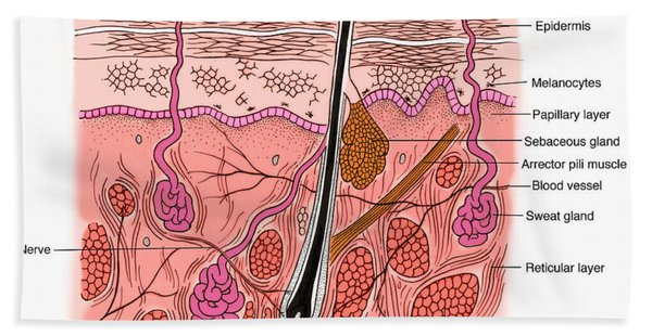 Illustration Of Skin Section Beach Towel