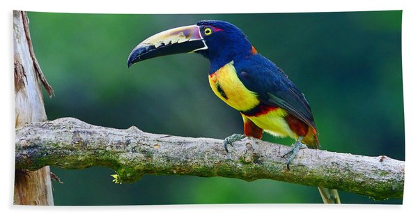 Collared Aracari Beach Towel