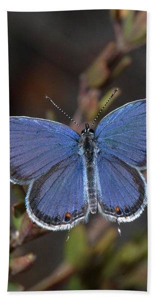 Eastern Tailed Blue Butterfly Beach Towel