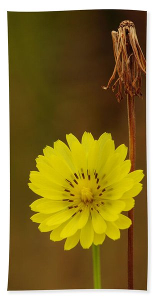 False Dandelion Flower With Wilted Fruit Beach Towel