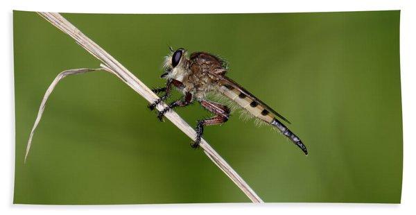Giant Robber Fly - Promachus Hinei Beach Sheet
