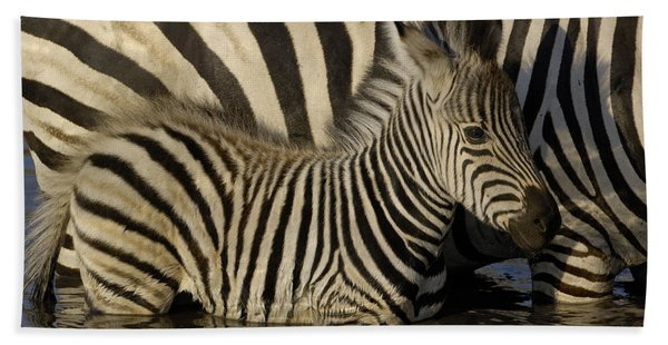 Burchells Zebra Equus Burchellii Foal Beach Towel