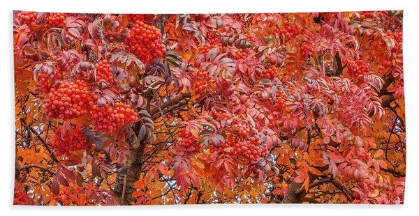 American Mountain Ash In Autumn Beach Sheet