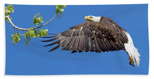 Bald Eagle In Flight 4-25-17 Beach Towel