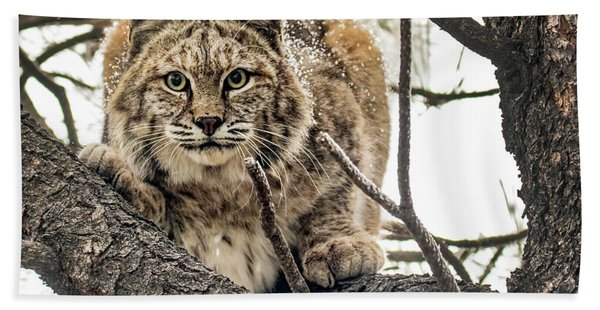 Bobcat In Winter Beach Towel