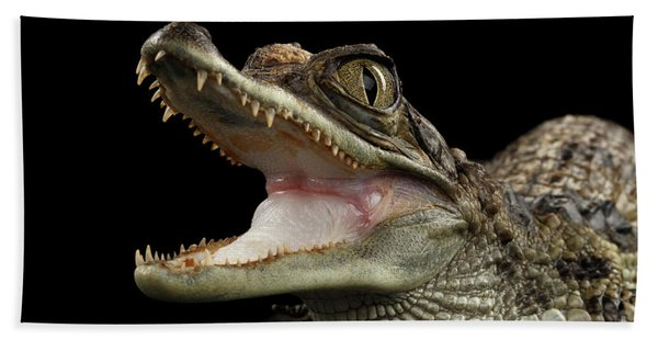 Closeup Young Cayman Crocodile, Reptile With Opened Mouth Isolated On Black Background Beach Towel