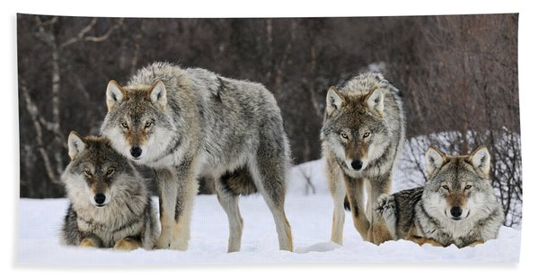 Gray Wolves Norway Beach Towel