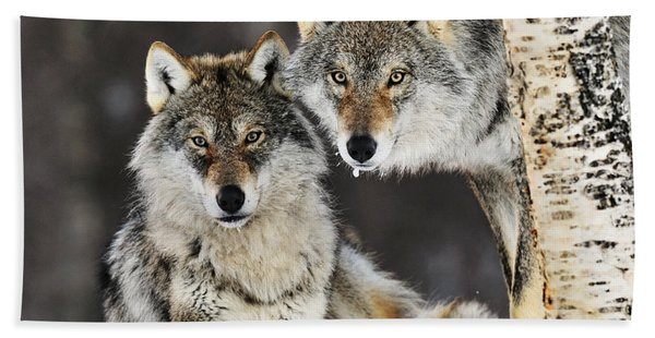Gray Wolf Canis Lupus Pair In The Snow Beach Towel