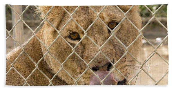 Lioness Licks Beach Towel