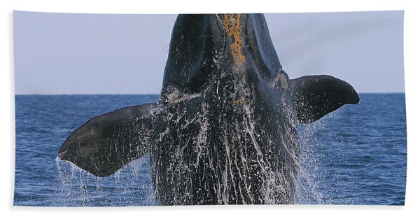 North Atlantic Right Whale Breaching Beach Towel