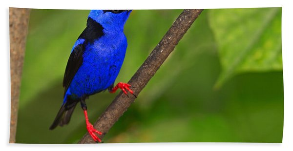 Red-legged Honeycreeper Beach Towel