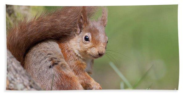 Red Squirrel - Scottish Highlands  #17 Beach Towel