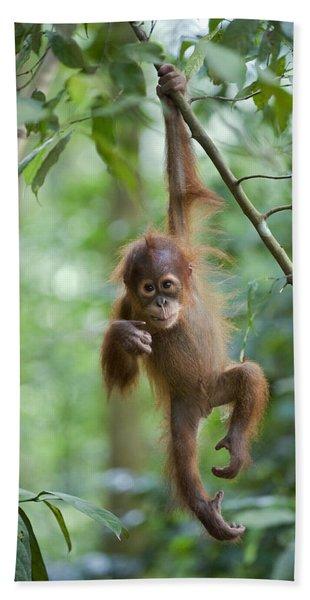 Sumatran Orangutan Pongo Abelii One Beach Towel