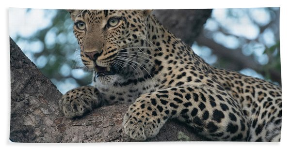 A Focused Leopard Beach Towel