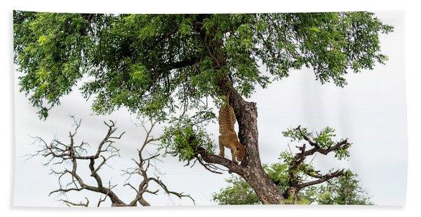 Leopard Descending A Tree Beach Towel