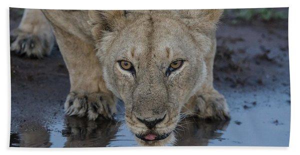 Lioness Drinking Beach Towel