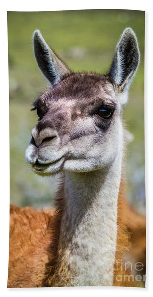 Portrait Of A Guanaco, Patagonia Beach Towel