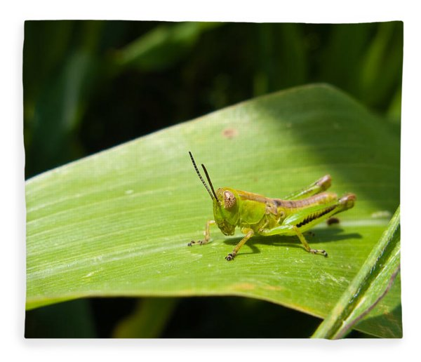 Grasshopper On Corn Leaf   Fleece Blanket