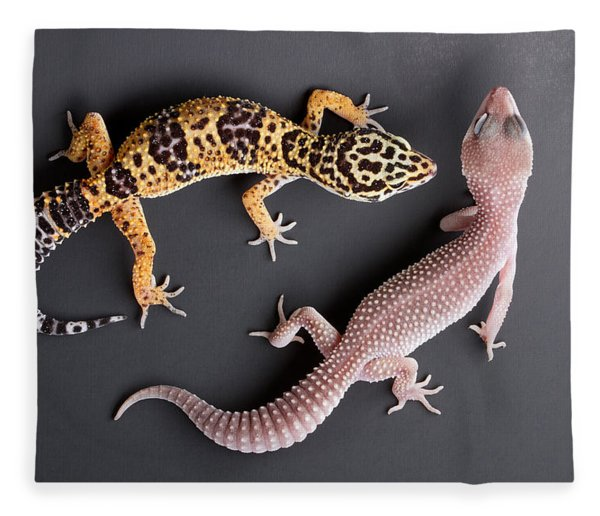 Leopard Gecko E. Macularius Collection Fleece Blanket