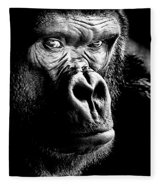 Gorilla Canvas Print, Photographic Print, Art Print, Framed Print, Greeting Card, Iphone Case, Fleece Blanket