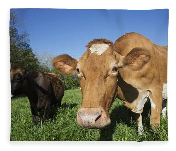 Jersey Cow  On The Left  With Guernsey Fleece Blanket