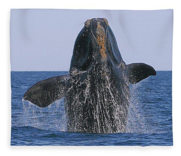 North Atlantic Right Whale Breaching Fleece Blanket