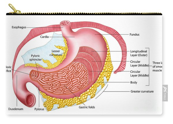 Anatomy Of The Human Stomach Carry-all Pouch