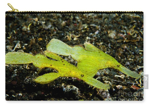 Two Robust Ghost Pipefish In Volcanic Carry-all Pouch