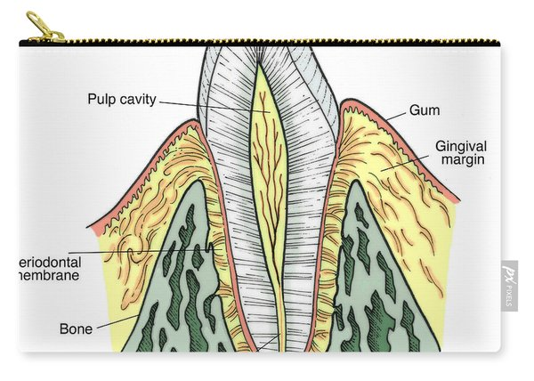 Illustration Of Pre-molar Tooth Carry-all Pouch
