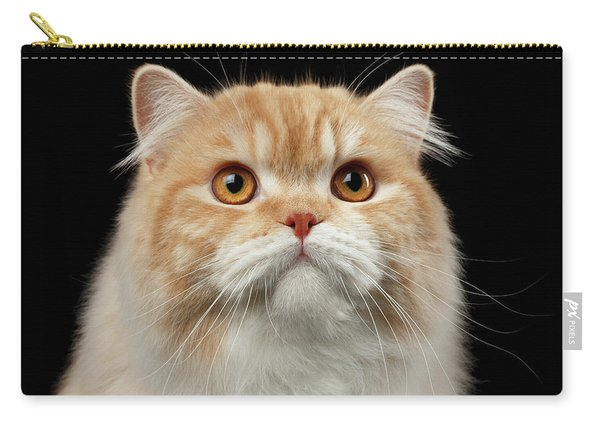 Closeup Portrait Of Red Big Persian Cat Angry Looking On Black Carry-all Pouch