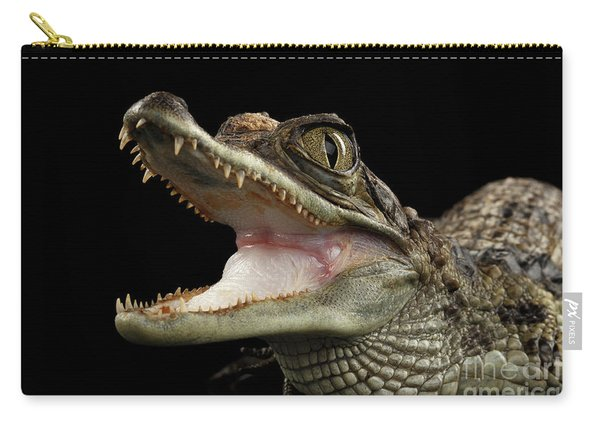 Closeup Young Cayman Crocodile, Reptile With Opened Mouth Isolated On Black Background Carry-all Pouch