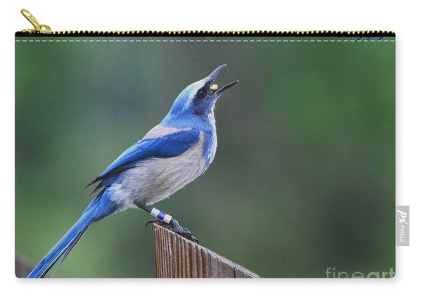 Florida Scrub Jay Eating Carry-all Pouch