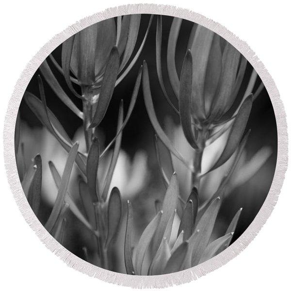 Conebush Safari Sunset - Leucadendron Round Beach Towel