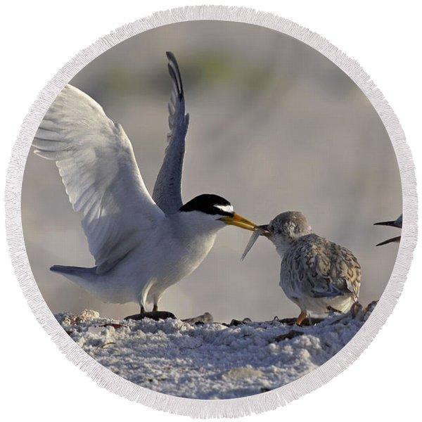 Least Tern Feeding It's Young Round Beach Towel