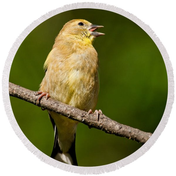 American Goldfinch Singing Round Beach Towel