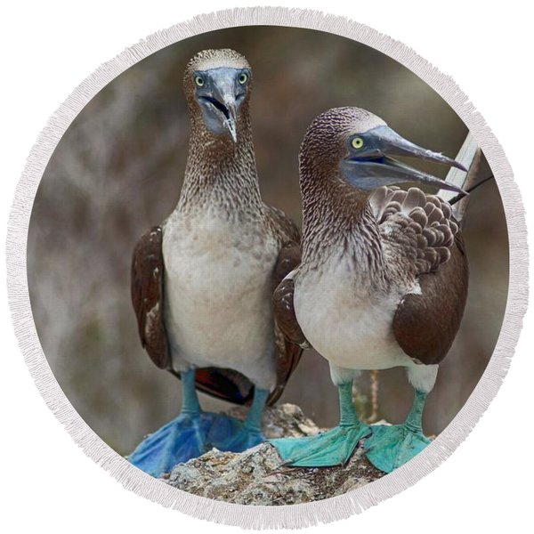 Blue-footed Boobies Round Beach Towel